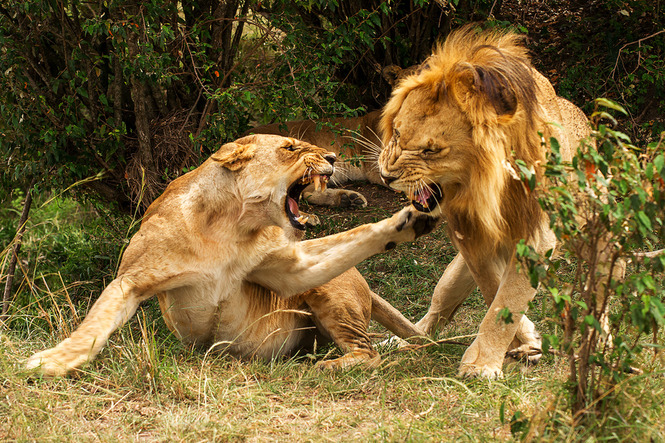 African Lion vs Grizzly Bear Fight Comparison